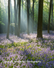Sunlight shafts through trees in a blubell wood near Winchester, Hampshire, England