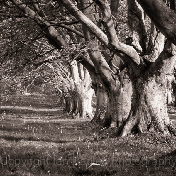 Beech Avenue of trees, Dorset, England