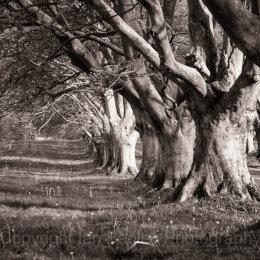 Beech Avenue of trees, Dorset, England