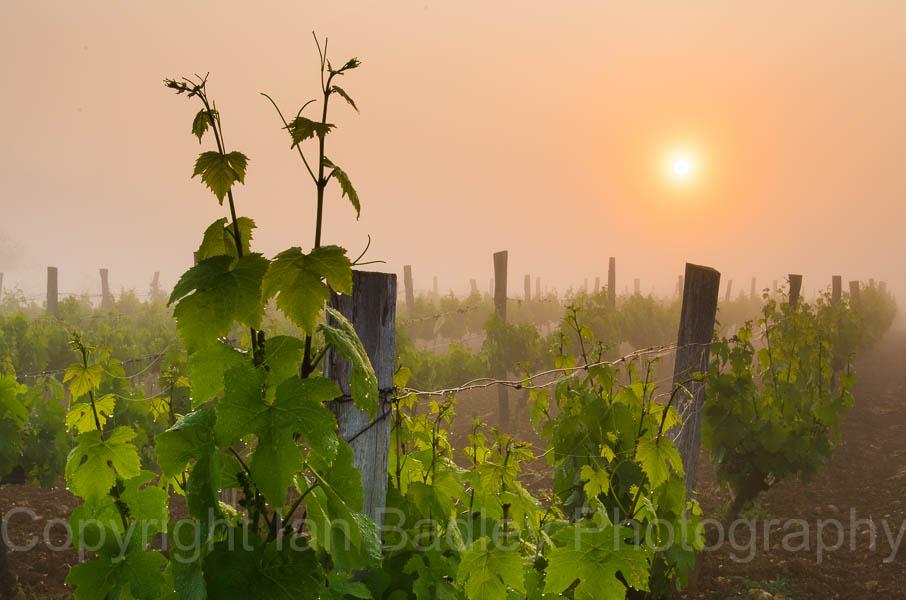 Vines at sunrise, Charente, France