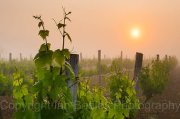 Vines at sunrise, Charente, France