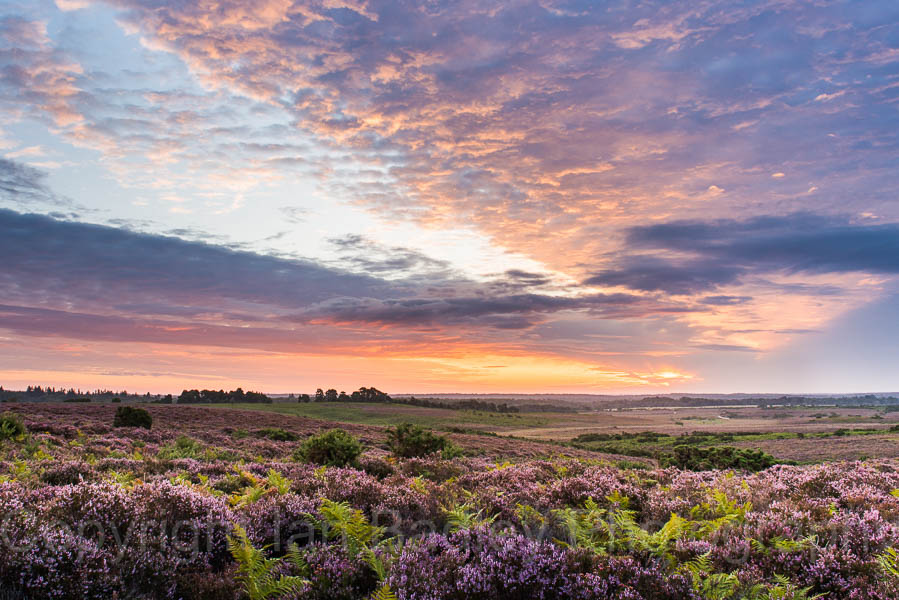 126 - Colourful dawn sunrise over a New Forest National Park heath  with summer heather