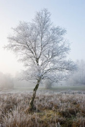 1833 - Lone tree covered in hoar frost in winter at  sunrise in the New Forest National Park, Hampshire, England