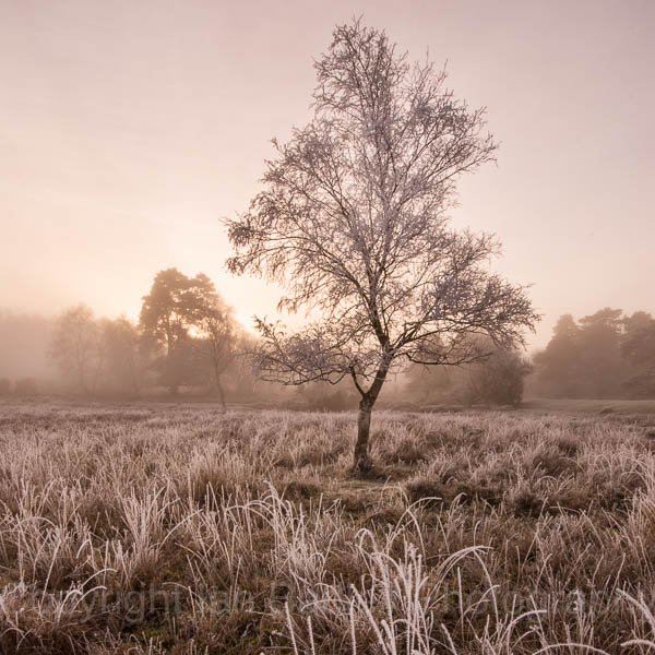 Lone tree and grasses covered in hoar frost on a winter sunrise in the New Forest National Park, Hampshire, England