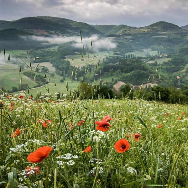 Wild poppies in Umbria, Italy with mist in the valley