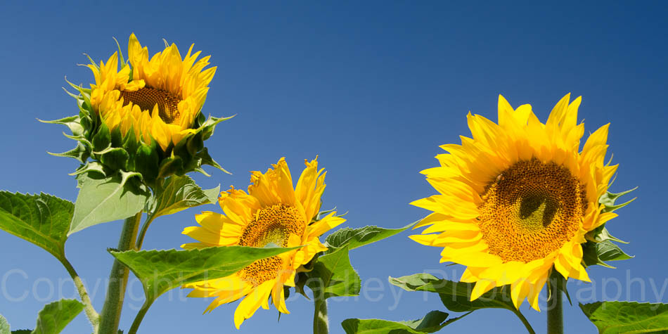 Three sunflowers with a blue sky in Vaucluse, France