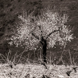 Cherry blossom on a lone tree in the Alpujarras mountains, Andalucia, Spain-2