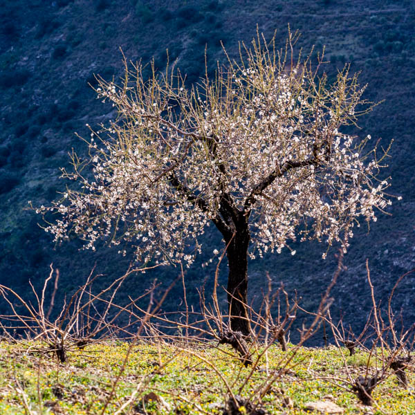 Cherry blossom on a lone tree in the Alpujarras mountains, Andalucia, Spain