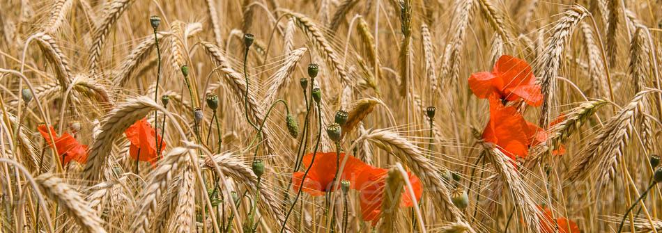 Poppies in a field of barley, Jura, France