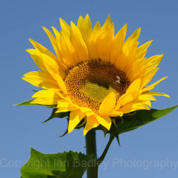 Sunflower with blue sky in Vaucluse, France