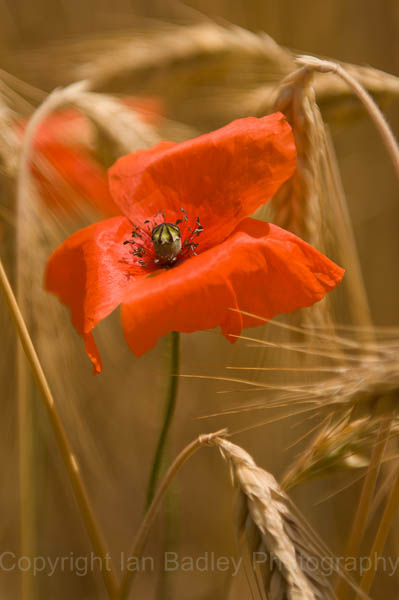 A lone poppy in a field of barley, Jura, France