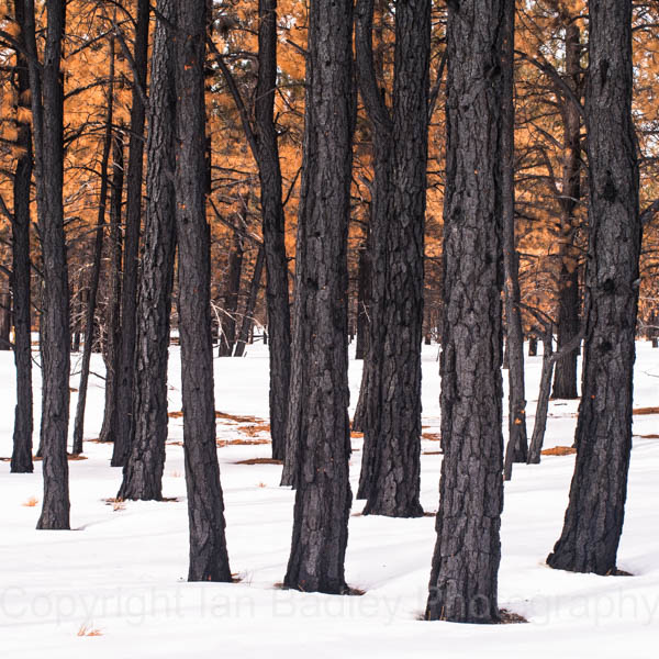 Deep snow amongst tree trunks and winter leaves in Bryce Canyon National Park, Utah, USA America