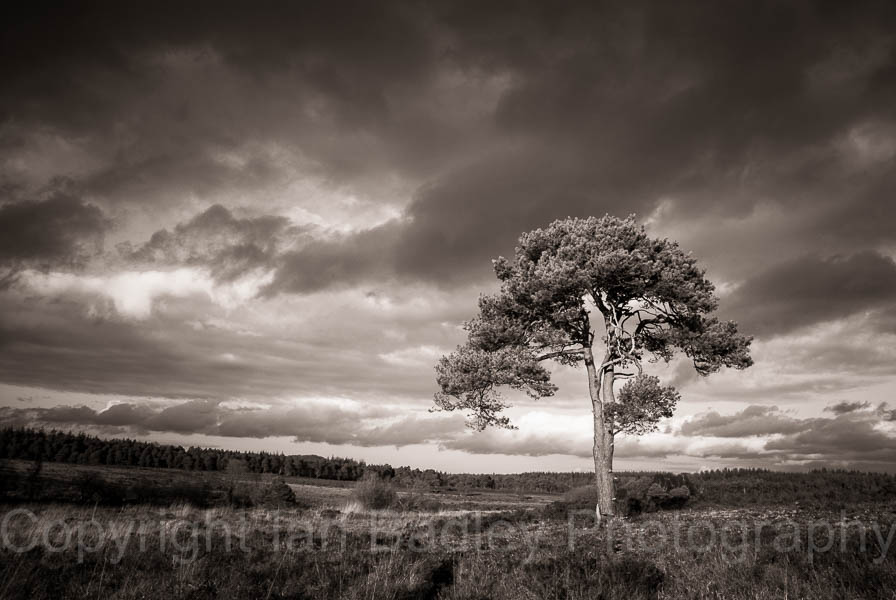 2346b - Sunlight on a lone pine tree with a stormy sky in the New Forest National Park, Hampshire, England