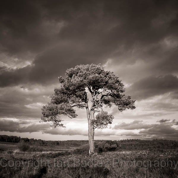 Sunlight on a lone pine tree with a stormy sky in the New Forest National Park, Hampshire, England