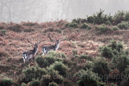 24 - Two fallow deer in New Forest National Park, Hampshire, England