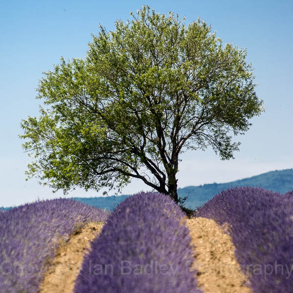 Lavender and a lone tree near Sault, Vaucluse, France