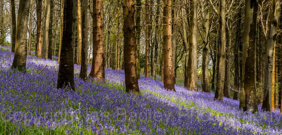 Bluebell Wood, Dorset, England