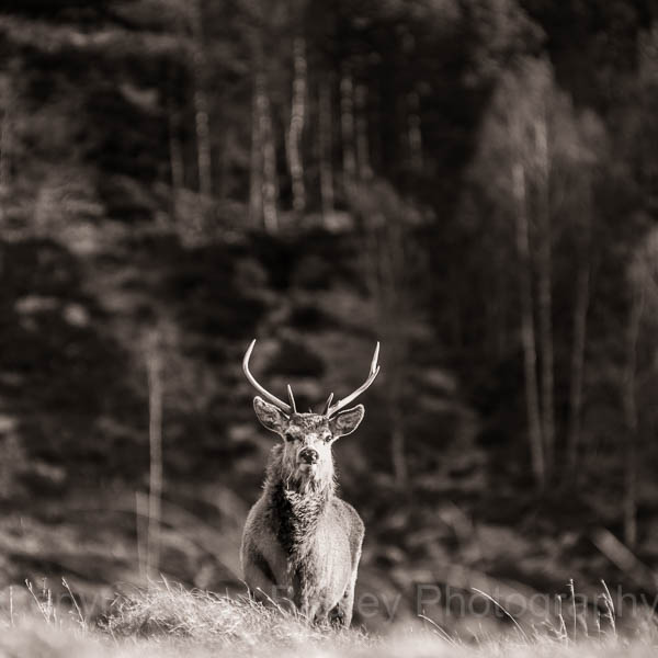 Red deer in the highlands of Scotland