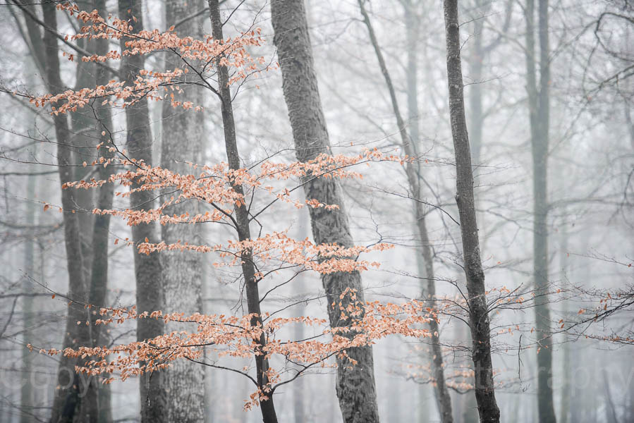 4820 - Misty Beech trees in winter colour, New Forest National Park, Hampshire, England
