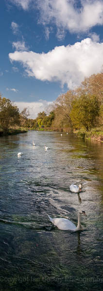 Swans on the River Itchen, Hampshire, England