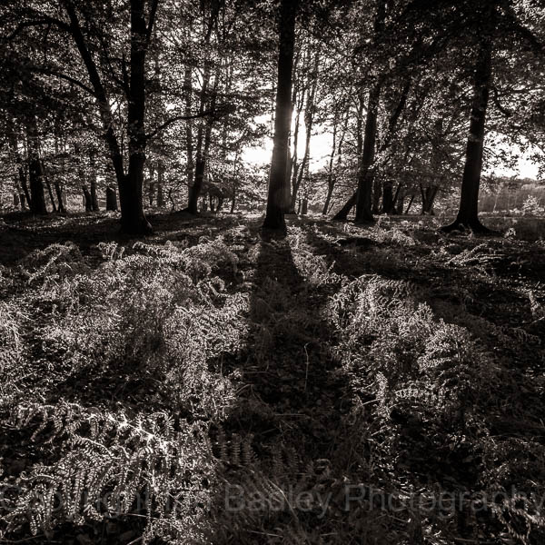 Tree shadows on ferns in the New Forest National Park, Hampshire, England
