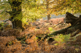 6547c - Late autumn sunlight through the trees and ferns, New Forest National Park, Hampshire, England