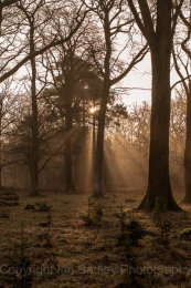 6696 - Sun rise through the misty tall trees, New Forest National Park, Hampshire, England