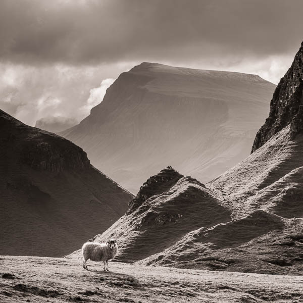 Lone sheep on the Quaraing, Totternish,  Isle of Skye, Scotland