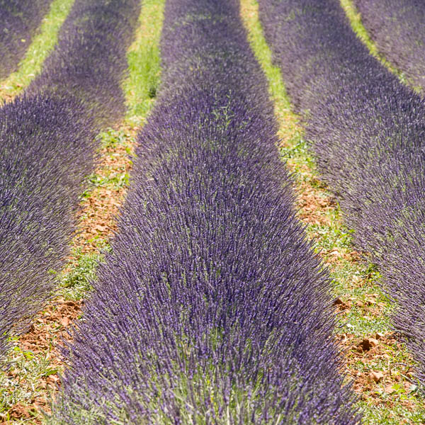 Square lavender fields in Provence, France