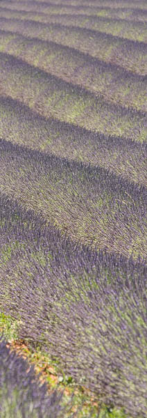 Vertical abstract lavender Fields, Provence, France