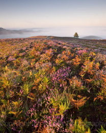 Colourful sunrise over the heather and grasses in summer in the New Forest National Park, Hampshire, England