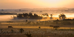 Cattle grazing on a misty late summer moor at sunrise, New Forest National Park, Hampshire, England