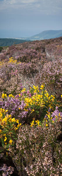 Summer heather on Exmoor National Park, England