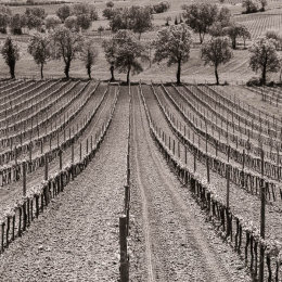Rows of vines in Tuscany, Italy