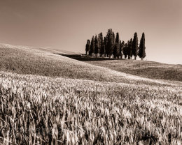 Sepia Cypress trees in Tuscany