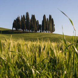 Group of cypress trees in Tuscany, Italy