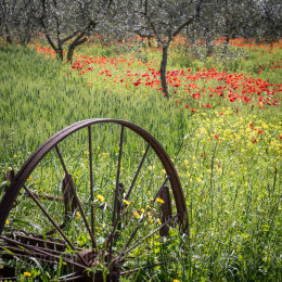 Poppies and plough in Tuscany, Italy