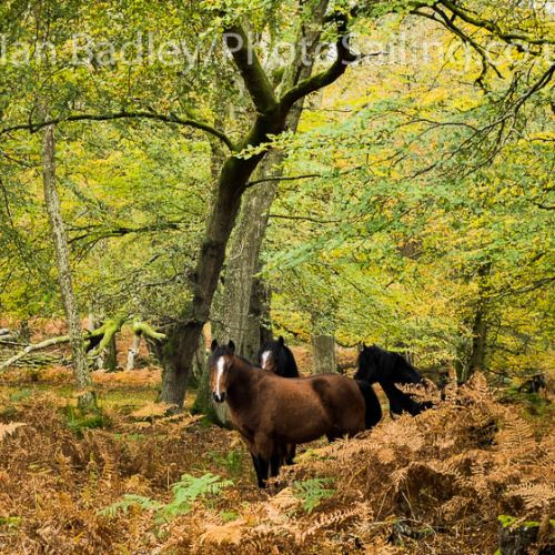 Ponies in the Autumn colours, New Forest