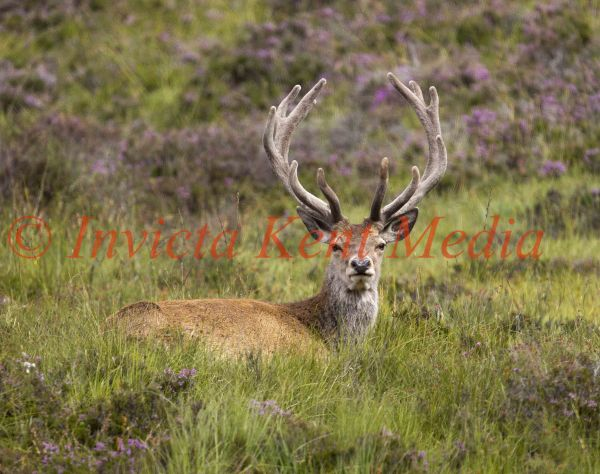PICS SHOWS;Stags grazing on the Balmoral Estate near Loch Muick .