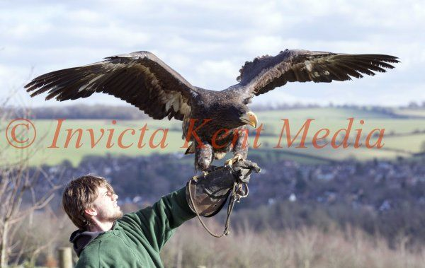 PICS SHOWS;Rex the Steller Sea Eagle That went Missing From Eagle Heights Wildlife Sanctuary in Eynsford Kent, on Sunday 14th of Feb Returned home today at 1Oclock.