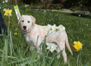 PIC SHOWS;- 4 month old Maisie enjoys the daffodils at Chartwell, while training to be a Guide Dog.  Press call for Go Walkies ,with the Sevenoaks, Kent,  Branch of Guide Dogs, at Chartwell, Kent, the old home of Winston Churchill.