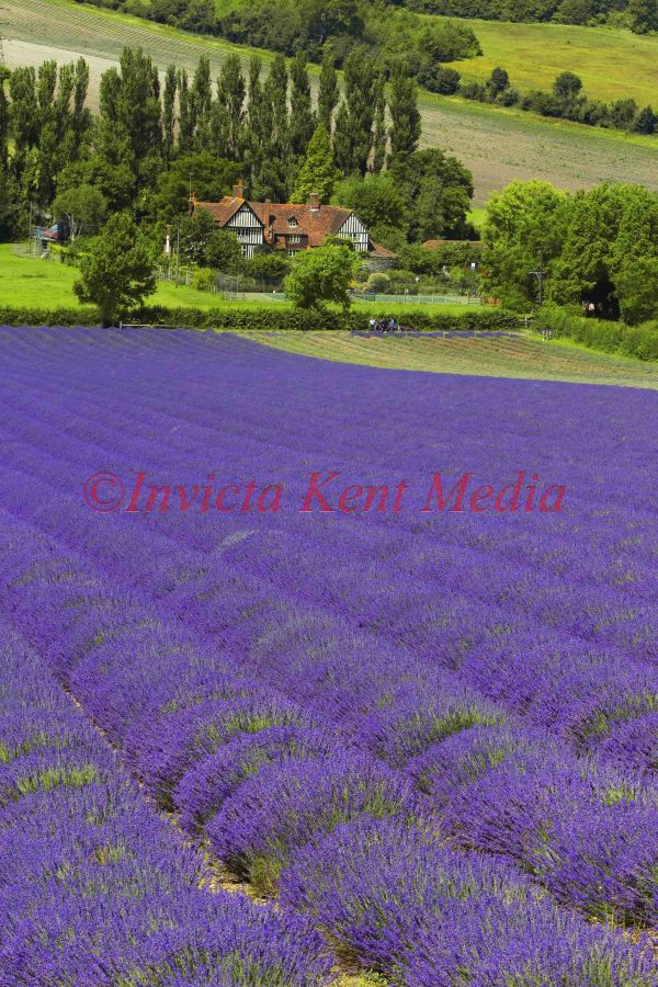 PIC SHOWS:- Lavender fields in Kent countryside