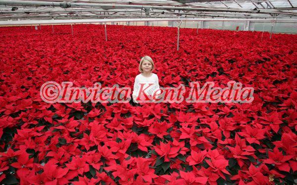 PICS OF POINSETTIA,S THE XMAS PLANT  AT STAPLEHURST NURSERIES ,STAPLEHURST KENT.CLARA FRANKE AGE 7YRS HAS NO PROBLEM CHOOSING A CHRISTMAS PRESENT FOR HER MUM FRANCES ,SHE HAS 40,000 TO CHOOSE FROM AT HER MUM AND DADS NURSERY IN STAPLEHURST KENT.