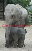 baby elephant called SITTANG  born 30/6/02 at port lympne zoo kent