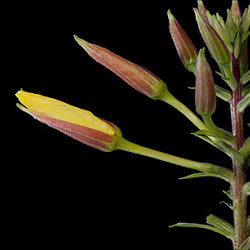 Evening Primrose (Oenothera sp.) bud opening over a 15 minute period.