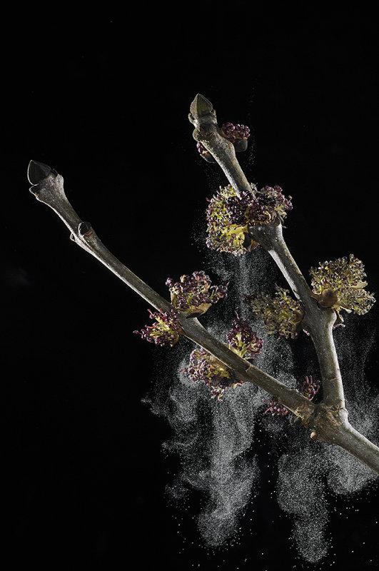 Ash tree (Fraxinus excelsior) flowers discharging pollen - high speed image.