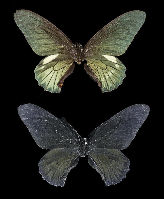 Belus Swallowtail: Battus belus, from Peru