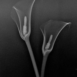 X ray of Calla Lily