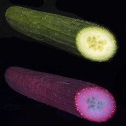 Cucumber (Cucumis sativus) in visible light, and fluorescing in UV light.