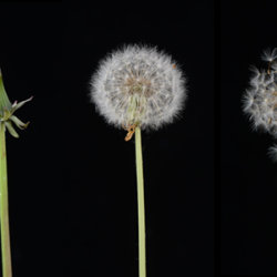 Dandelion (Taraxacum officinale) Development from flower to seed